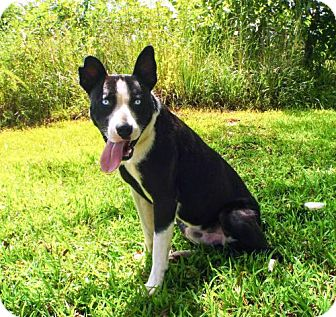 Border Collie Mix Dog for adoption in Spring Valley, New York - FRANKIE BLUE EYES