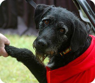 Irish Wolfhound/Labrador Retriever Mix Dog for adoption in Indianapolis, Indiana - Dio