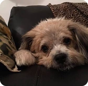Lhasa Apso Mix Dog for adoption in Ft. Lauderdale, Florida - Candy