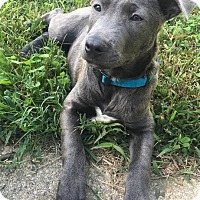 Adopt A Pet :: SOFIA - Richmond, VA