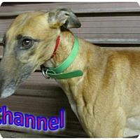 Greyhound Dog for adoption in Thornton, Colorado - Channel