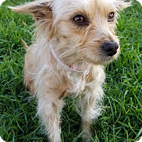 Yorkie, Yorkshire Terrier/Chihuahua Mix Dog for adoption in Los Angeles, California - Rosie