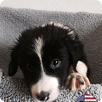 Adopt A Pet :: George - Westminster, CO