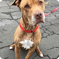 Adopt A Pet :: Lucy - Cranston, RI