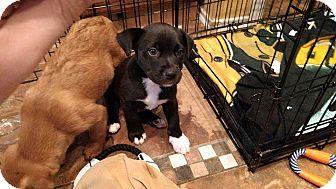 Labrador Retriever Mix Puppy for adoption in Allen, Texas - Phil