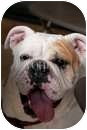 English Bulldog Dog for adoption in conyers, Georgia - Penny