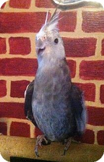 Cockatiel for adoption in Shawnee Mission, Kansas - Earl