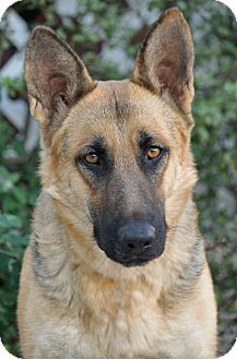 German Shepherd Dog Dog for adoption in Los Angeles, California - Ivory von Insel