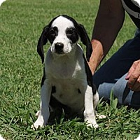 Adopt A Pet :: Kaeleb~meet me @ PetSense~ - Westbrook, CT