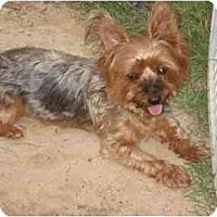 Adopt A Pet :: Bada Bing - Columbia, SC