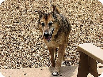 Shepherd (Unknown Type)/Collie Mix Dog for adoption in Elizabethtown, Pennsylvania - Shepley