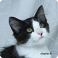 Adopt A Pet :: Charlie T - Sacramento, CA