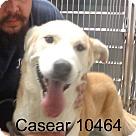Adopt A Pet :: Casear