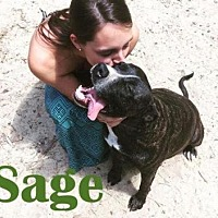 Pit Bull Terrier Dog for adoption in Orangeburg, South Carolina - Sage
