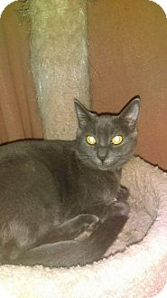 Domestic Shorthair Cat for adoption in Diamond Springs, California - Wolfy