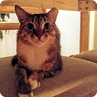 Domestic Shorthair Cat for adoption in Orlando, Florida - Selena