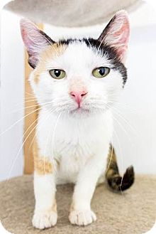 Domestic Shorthair Cat for adoption in Baltimore, Maryland - Calli