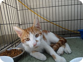 Domestic Shorthair Kitten for adoption in Elyria, Ohio - Preston