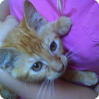 Adopt A Pet :: Sherbert - Neutered - Alliance, OH