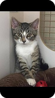 American Shorthair Cat for adoption in Toms River, New Jersey - Linus