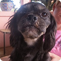 Lhasa Apso Mix Dog for adoption in Westport, Connecticut - Bryson
