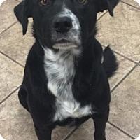 Labrador Retriever/Australian Cattle Dog Mix Dog for adoption in Joplin, Missouri - Eric 4789