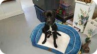 Boxer/Labrador Retriever Mix Dog for adoption in Rexford, New York - Second Chance