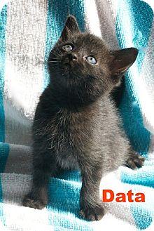 Domestic Shorthair Kitten for adoption in Thornhill, Ontario - Data