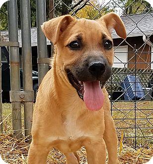 Labrador Retriever/Boxer Mix Puppy for adoption in Murphysboro, Illinois - Blair