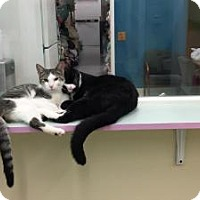 Domestic Shorthair Kitten for adoption in Westbury, New York - Merry
