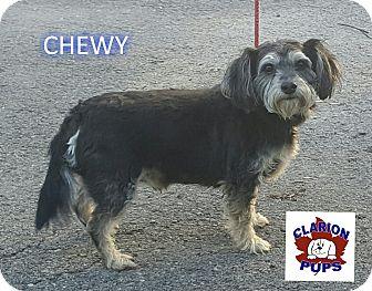 Schnauzer (Miniature)/Cocker Spaniel Mix Dog for adoption in Strattanville, Pennsylvania - CHEWY