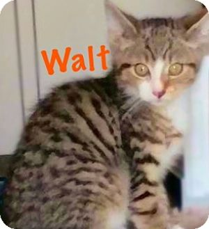 Domestic Shorthair Kitten for adoption in York, Pennsylvania - Walt