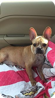 French Bulldog Dog for adoption in Columbus, Ohio - Bebe