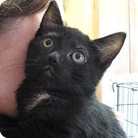 Domestic Shorthair Kitten for adoption in Reeds Spring, Missouri - Windy