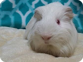 Guinea Pig for adoption in South Bend, Indiana - Olaf