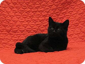 Domestic Shorthair Kitten for adoption in Redwood Falls, Minnesota - Ike
