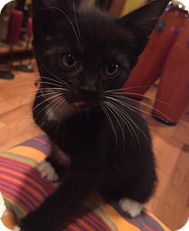 Domestic Shorthair Cat for adoption in Los Angeles, California - Oreo and Midnight