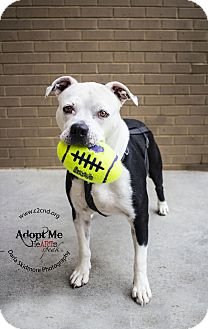 American Bulldog/Pit Bull Terrier Mix Dog for adoption in Mooresville, North Carolina - Haven