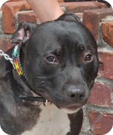 American Pit Bull Terrier Mix Dog for adoption in Brooklyn, New York - Pak