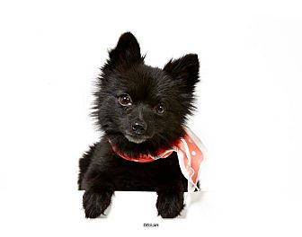 Pomeranian Dog for adoption in New York, New York - Delilah