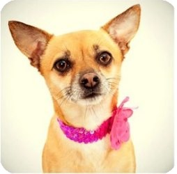 Chihuahua/Terrier (Unknown Type, Small) Mix Dog for adoption in Sacramento, California - Bear