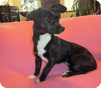 Dachshund/Chihuahua Mix Dog for adoption in Mooy, Alabama - Marilyn
