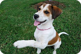 Beagle Mix Puppy for adoption in Hamburg, Pennsylvania - Libby