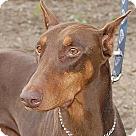 Adopt A Pet :: Reva