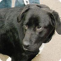 Adopt A Pet :: Dominoe - Raleigh, NC