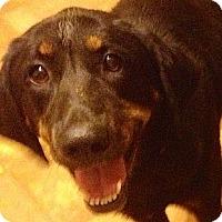 Adopt A Pet :: Rockie - Cape Girardeau, MO