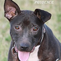 Adopt A Pet :: Prudence - Lone Oak, TX
