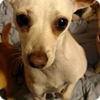 Adopt A Pet :: Bambi - San Diego, CA