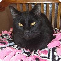 Domestic Shorthair Cat for adoption in Toledo, Ohio - Eli