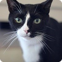 American Shorthair Cat for adoption in Dalton, Georgia - Petey